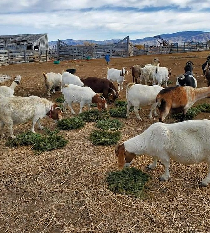Suzann Gilliland Peterson photo The High Desert Grange is arranging to recycle Christmas wreaths from the Northern Nevada Veterans Memorial Cemetery and is seeking help from goat and sheep producers.