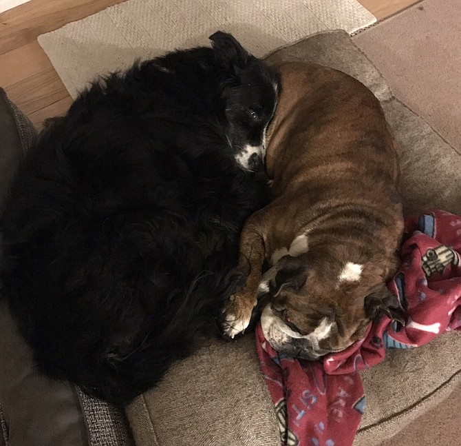 Lightning Liam, a border collie mix, and Oh-Da-Babay, an English bulldog, both about 8, have formed an unlikely friendship during the pandemic, currently living together as foster dogs with Carson City resident Suzanne Webb.