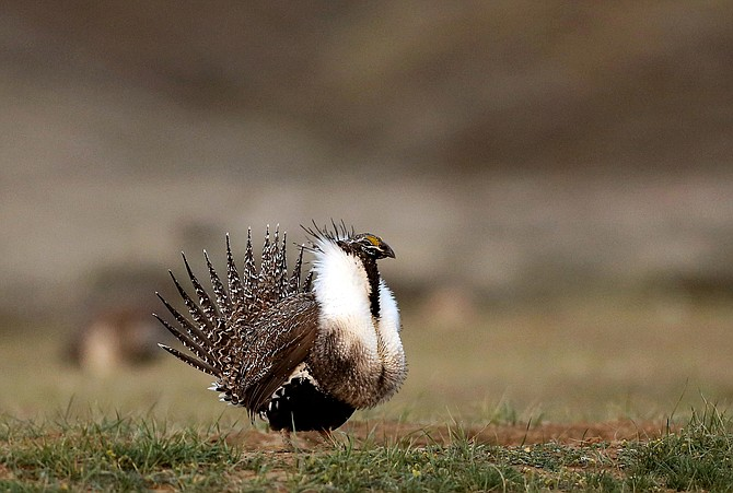 A male sage grouse struts in the early morning hours outside Baggs, Wyo., on April 22, 2015. (Photo: Dan Cepeda/The Casper Star-Tribune via AP, file)
