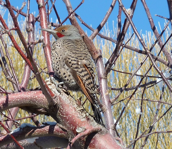 A red-shafted flicker in a Gardnerville apple tree.