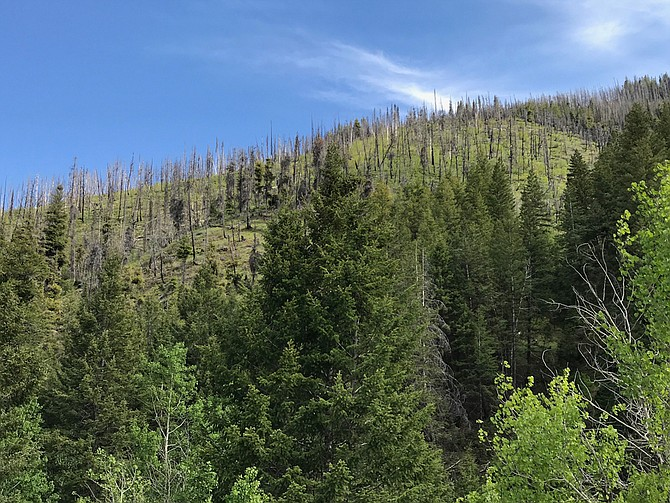 Central Rocky Mountain forest affected by bark beetles and wildfire.