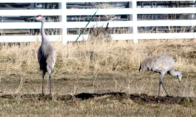 Two sandhill cranes wander the field north of Genoa Lane on Tuesday morning.