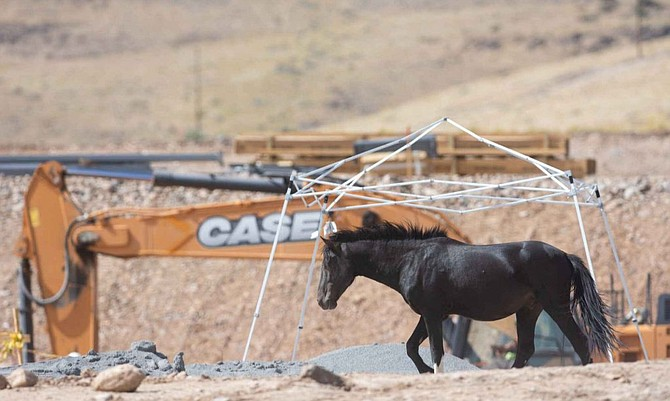 Wild horses at the Tahoe Reno Industrial Center on Wednesday, Sept. 12, 2018.