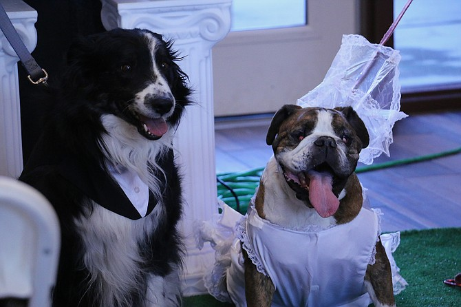 """Foster dogs Lightning Liam, a Border collie mix, and Oh-Da-Babay, an English bulldog, were """"married"""" Saturday at the Nevada Humane Society's Carson City shelter at 549 Airport Road after bonding in January when they were taken into resident Suzanne Webb's home. (Photo: Jessica Garcia/Nevada Appeal)"""