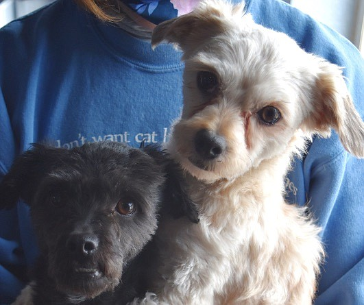 Courtesy Capulina (black) and Nacho (white) are five-year-old Terrier/mix. They are looking for a home where they can be together, because they share a special bond. Capulina is a happy little fellow with an adorable under bite. Nacho is lively and lets everyone know what is happening. They get along well with other small dogs and love to go on walks. Come out and meet this dynamic duo.