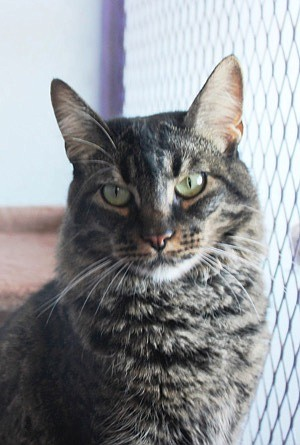 Rocket is a stunning one-year-old domestic medium-hair brown tabby. She is incredibly beautiful with emerald green eyes and amazing, distinct markings. Rocket came to CAPS because she did not get along with the dog in her home. She is looking for a loving home with someone who will appreciate her and treat her like the beautiful princess she is. Come out and meet this purrfect girl; you will not be disappointed.