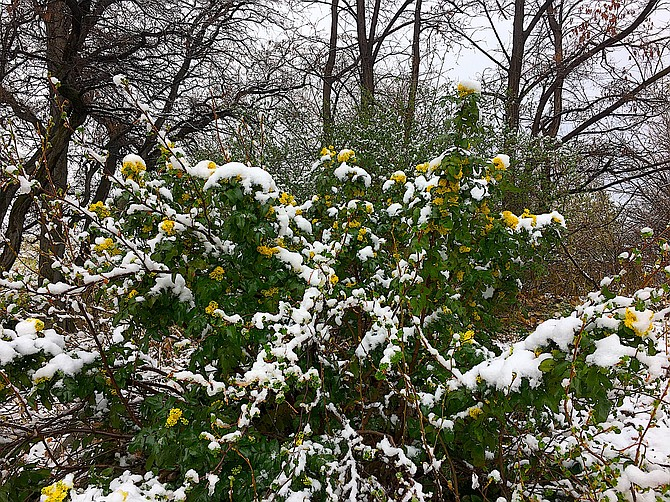 Wet heavy snow clings to an Oregon grape in Genoa on Wednesday morning.