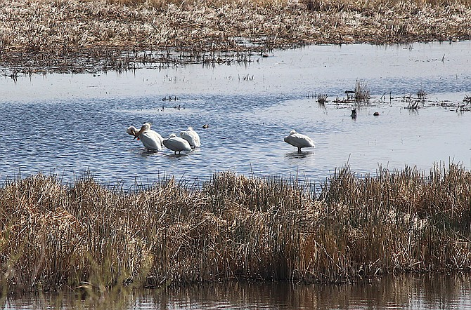 Pelicans flock to the marsh south of Genoa on Wednesday morning.