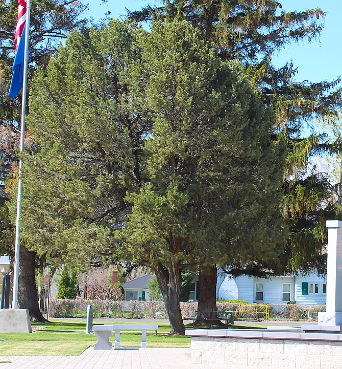 A piñon pine has graced the front of the Douglas County Courthouse since June 10, 1965.