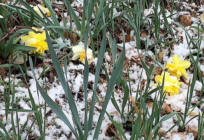 Snow sticks to daffodils after the April 14 storm in Carson Valley. The Valley might see a little bit of snow on Sunday night.