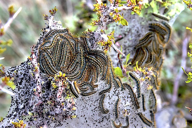 Minden photographer Jay Aldrich captured this picture of tent caterpillars on desert peach at Clear Creek. Both the desert peach and buckbrush is in full bloom along the foothills of the Carson Range.
