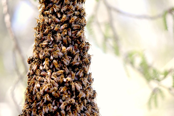 A silver poplar north of Genoa grew a beard of bees on Wednesday.