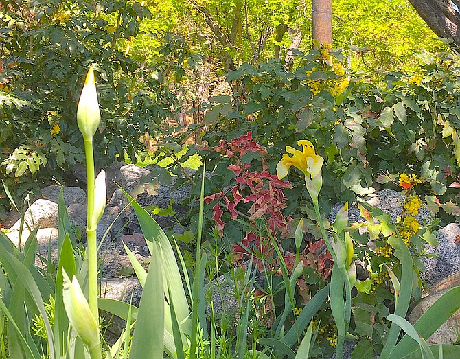 Irises are blooming in Genoa with Oregon grape in the background