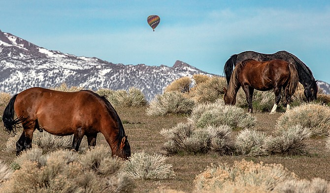 A hot hair balloon drifts in the background as wild horses graze in the Pine Nuts.