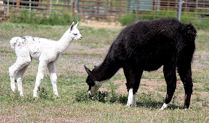 A mother and baby alpaca off Centerville Lane in Gardnerville on Saturday.