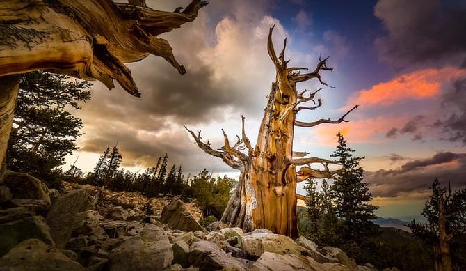 "Kelly Carroll's photo ""Bristlecone Pine."""