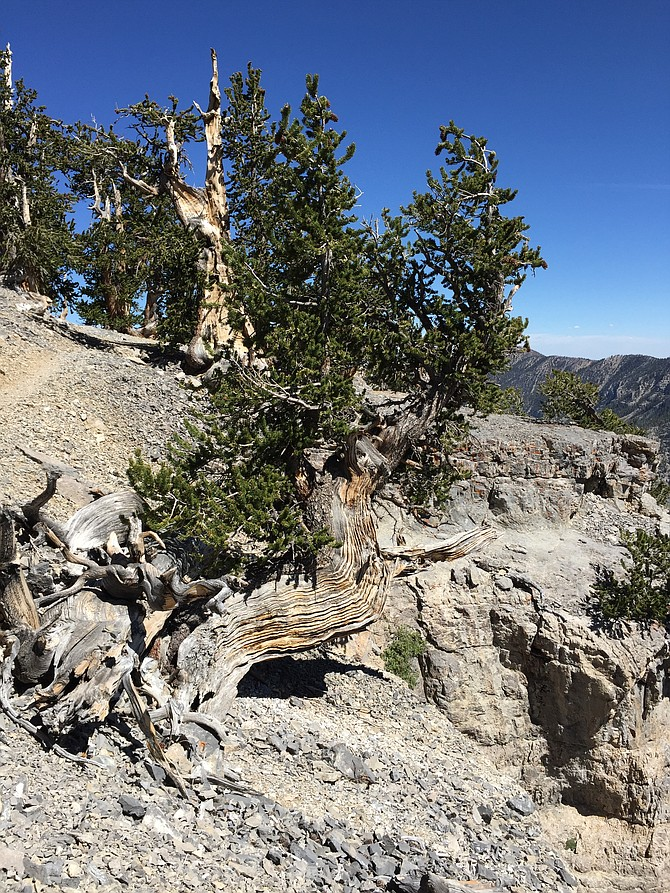 The state's biggest Bristlecone pine tree can be found in the Mount Charleston Wilderness Area, outside of Las Vegas.