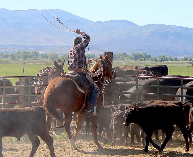 Calves are roped and branded on the Park Ranch Holdings property off Buckeye, not far from where a small meat processing plant is proposed.