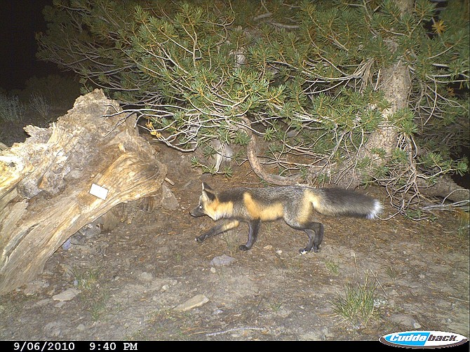 A Sierra Nevada red fox is caught on a U.S. Forest Service wildlife camera in 2010.