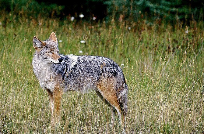 A coyote stands in a field in Montana on Feb. 10, 2013. (Karen Nichols/The Daily Inter Lake via AP)