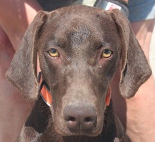 Benelli is an adorable one-year-old Chocolate Labrador and Remington is a sleek, beautiful 10-month-old German Shorthair Pointer. These girls came to CAPS because their person could no longer take care of them. They are looking for a home where they can stay together. Both girls are friendly, lovable, and enjoy chasing balls. In fact, they were the stars of the Cantaloupe Festival. Come out and meet this dynamic duo; they will charm you.