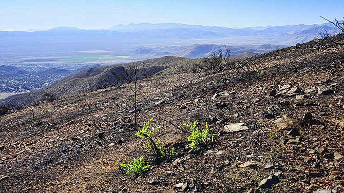 The hill above Topaz Ranch Estates is starting to green up after the Tamarack Fire.