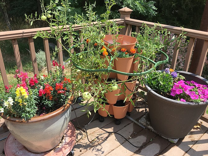 Hollyhocks, petunias and marigolds accompany tomatoes in the corner of a Genoa deck.