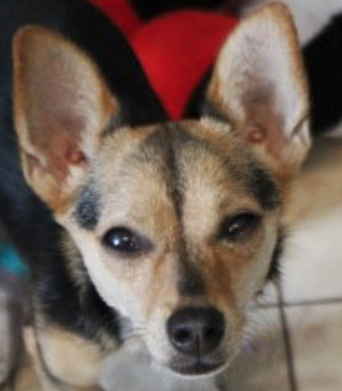 Sassy is a lively one-year-old Chihuahua mix. She is the cutest little girl you have ever seen. Sassy adores people and loves being held. She does need daily eye ointment because she has chronic dry eyes. Come out and meet this cutie.