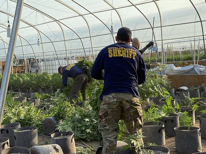 It was all hands on deck on Monday as authorities raided an illegal marijuana grow in the Pine Nuts.