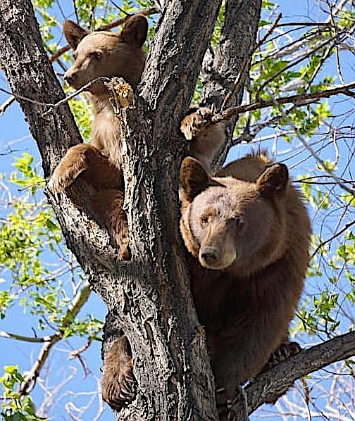 Wisteria Brimm took this photo of bears in a tree in Fish Springs over the weekend.