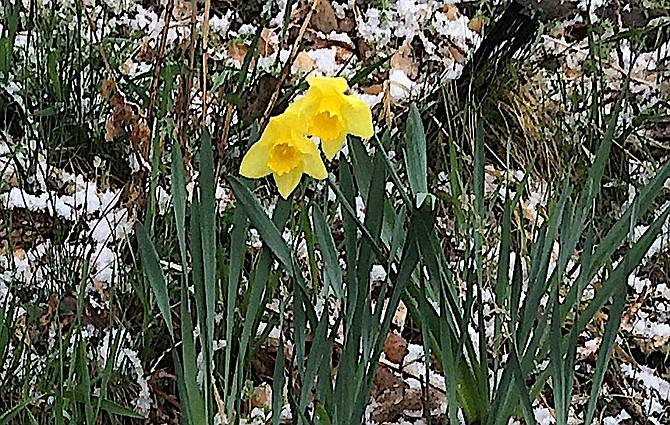 Daffodils are among the first flowers to bloom in spring and should be planted in fall. An added benefit is that the squirrels won't eat them.