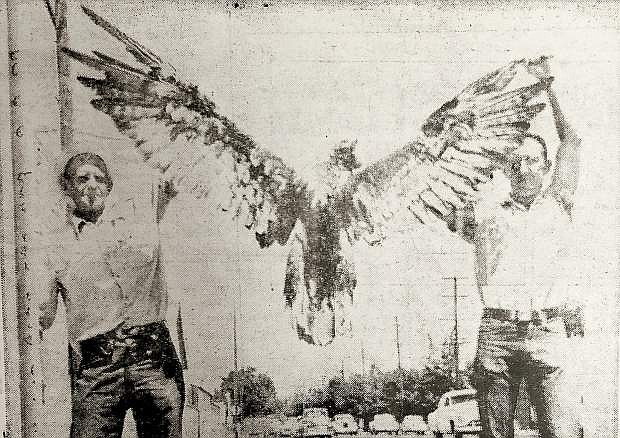 HUGE WINGS of this golden eagle were his undoing recently when they spanned the distance between high-voltage power lines about three miles east of Sparks. Ray Hedges, left, Sierra Pacific Power Co. foreman in Reno, found the eagle beneath the wires while searching for the cause of a power failure. Ed Hastings, right, electric serviceman for the power company, was called out in the early hours of the morning when power to an airway beacon inexplicably was cut off. After power was restored Hedges walked the length of the beacon power line to find what had happened and came upon the eagle on the ground a mile and a half from the beacon. The eagle was given to University of Nevada.