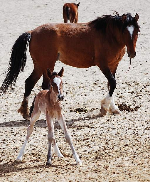 In this file photo, a mare oversees her foal at the Indian Lakes holding facility northeast of Fallon.