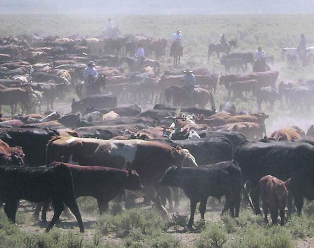 Cattle roundup in northern Nevada.