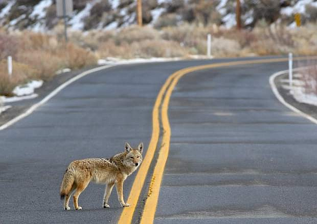 A healthy looking coyote crosses Kings Canyon Rd. Thursday morning in Carson City.