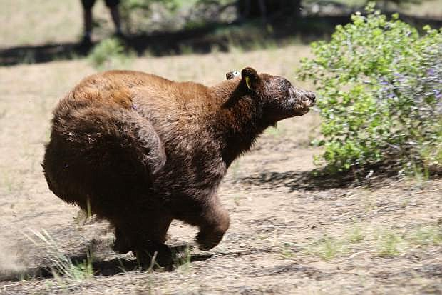 An eight-year-old female black bear is released near Spooner Summit.