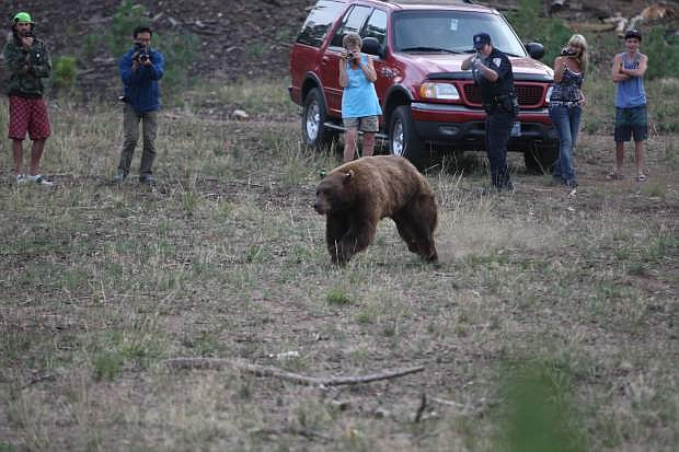 A Nevada Fish and Game Warden fires rubber bullets at a 500 pound bear after it was released on Friday near Spooner Summit.