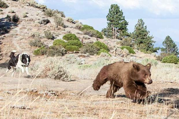 Bears that come to depend on human sources of food sometimes can be rehabilitated. If so they are released back into the wild, sometimes chased by Karelian bear dogs to encourage them to fear people.