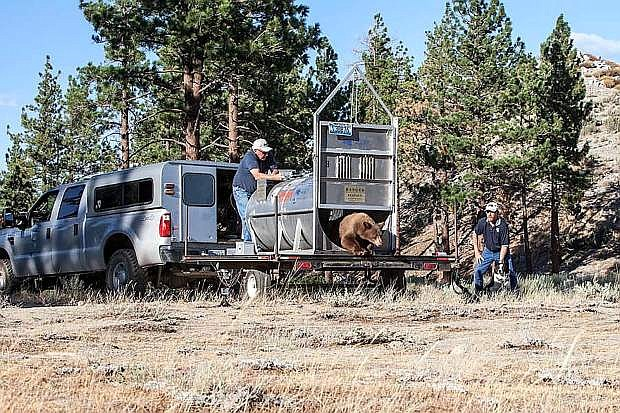 A black bear was released from bear trap on Friday evening in the hills above the Carson Valley, west of the Gardnerville Ranchos area where the bear was tranquilized earlier that day.