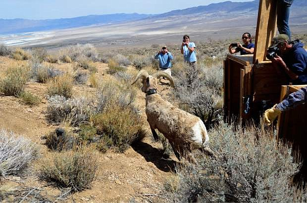 As many as 50 desert bighorn sheep will be moving from Nevada to Utah under a joint effort by wildlife officials in the two states.