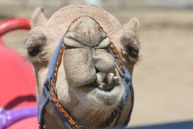 A camel at the International Camel and Ostrich Races in Virginia City last year.