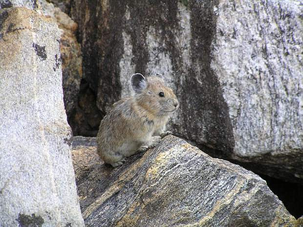 FILE - This handout photo, taken Aug. 17, 2005, file photo, provided by the US Geological Survey/Princeton University shows an American pika. A new study shows populations of the rabbit-like animal known as the American pika are vanishing in many mountainous areas of the West as climate change alters habitat. The U.S. Geological Survey research unveiled Thursday, Aug. 25, 2016, found ranges of the mountain-dwelling herbivore are decreasing in southern Utah, northeastern California and in the Great Basin that covers most of Nevada. (Shana S. Weber/USGS, Princeton University via AP)
