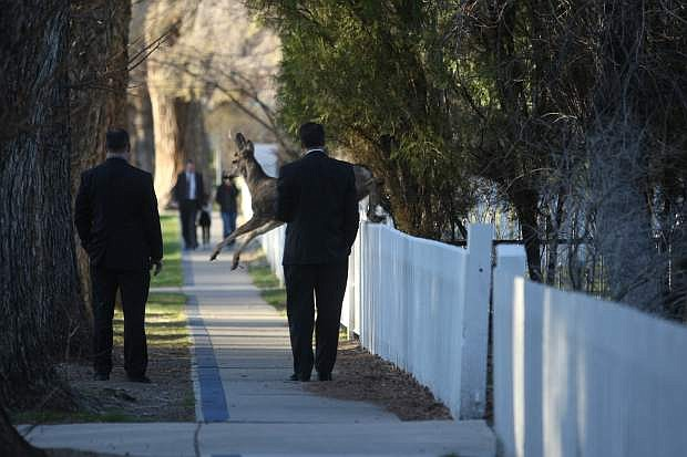 A deer jumps over a fence on Mountain Street in front of Gov. Brian Sandoval on Wednesday morning. In honor of Nevada Moves Day the governor walked to work.