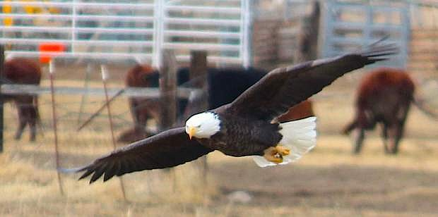 Carson City resident Lexine Thompson photographed this bald eagle at Buzzy's Ranch on Sunday.