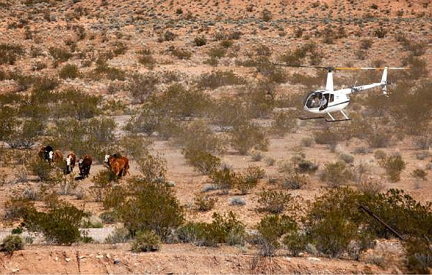 """Contractors for the Bureau of Land Management round up cattle belonging to Cliven Bundy with a helicopter near Bunkerville, Nev. Monday, April 7, 2014. The Bureau of Land Management has begun to round up what they call """"trespass cattle"""" that rancher Cliven Bundy has been grazing in the Gold Butte area 80 miles northeast of Las Vegas.  (AP Photo/Las Vegas Review-Journal, John Locher)"""