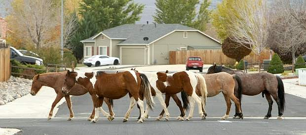 A band of wild horses stroll though a Dayton neighborhood on Tuesday.