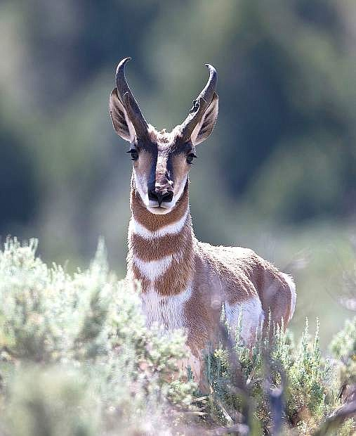 Antelope numbers have increased for the 2013 hunting season.