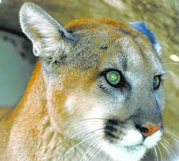 Mountain lion tags provide a challenging task for hunters in Nevada.