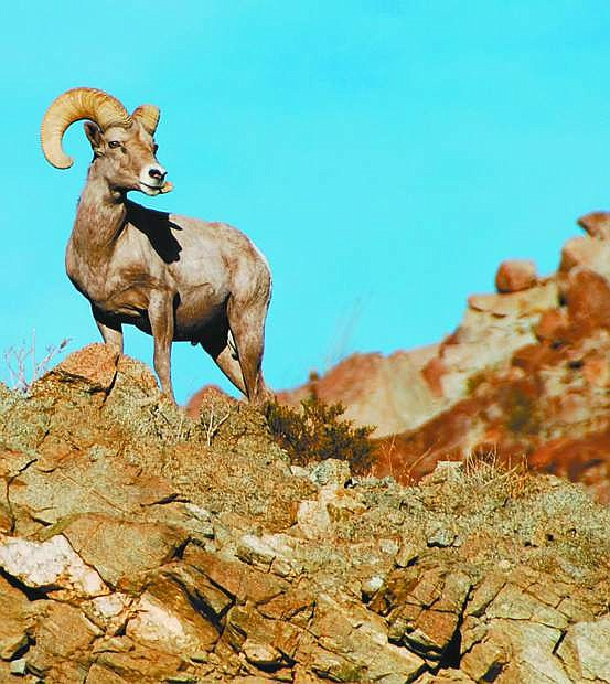 The bighorn sheep hunting season looks optimistic after herd populations rebounded from a disease outbreak several years ago.