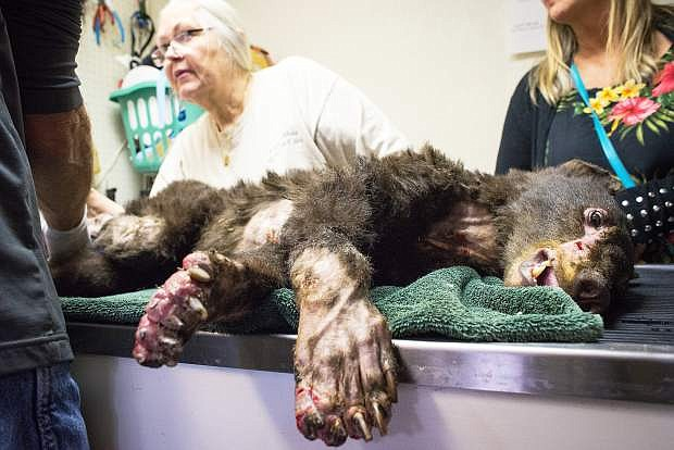 """Injured in a wildfire in Washington, a black bear nicknamed """"Cinder"""" was dropped off for treatment at Lake Tahoe Wildlife Care on Monday, Aug. 4 in South Lake Tahoe. A bear from the Paradise, Calif., area was dropped off Tuesday, Aug. 5. The wildlife rehabilitation center is treating 11 bears, the most it has ever had in for treatment at one time."""